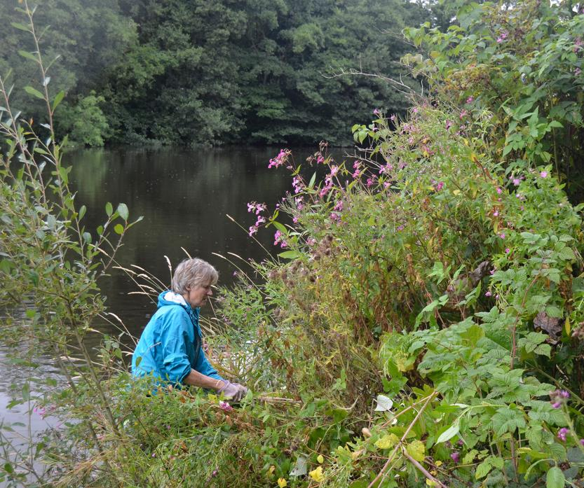 GOING INTO BATTLE: Left, town councillor Tim Raw and volunteer Richard Jackson get stuck in. Above, Jennie White tackled Himalayan balsam on the river bank
