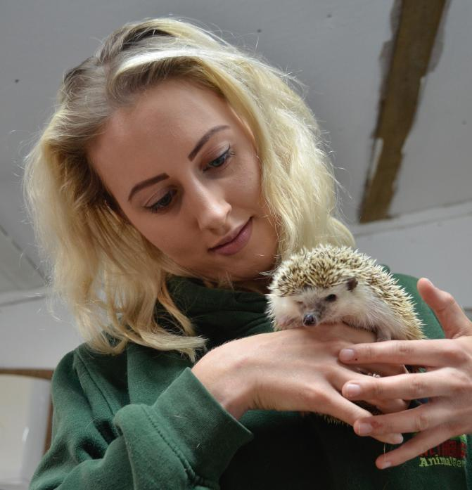 SPIKES: Volunteer Kate Edmondston with Nedge Nog, the African pygmy hedgehog which arrived at Wetheriggs Animal Rescue Centre a week ago