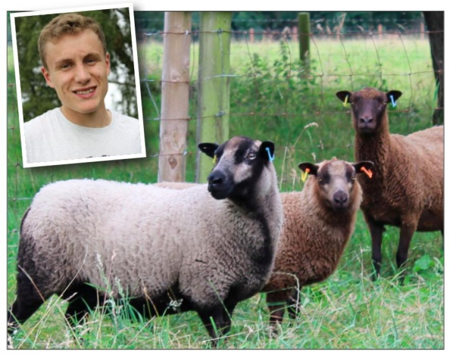 NO REGRETS: James Gray, inset, and some of his small flock of Shetland sheep