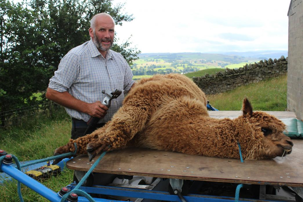 NOT SO STRENUOUS: Jonathan Waters with his home-made device for holding alpacas in place while he shears their coat