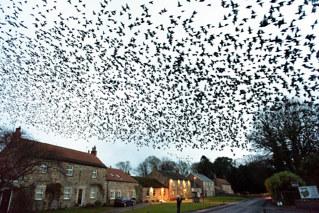 SPECTACULAR: A murmuration of starlings at Whorlton last spring