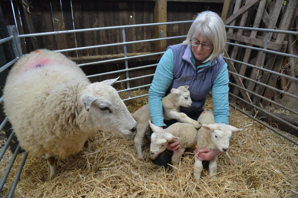 LATEST ARRIVALS: Alison Lamb examines a set of two-day-old triplets born to a Texel ewe