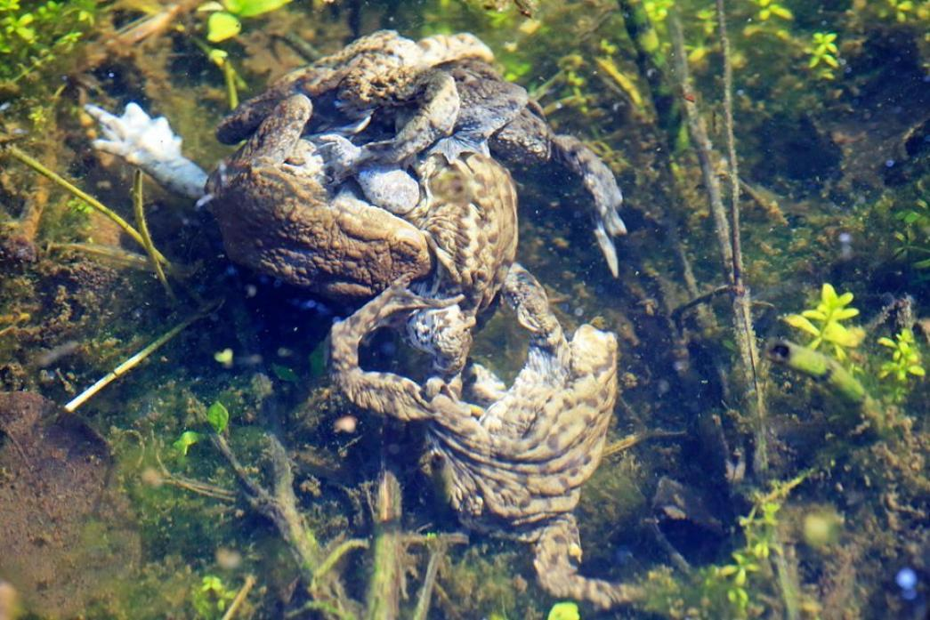 HOLD ON TIGHT: Frogs during breeding