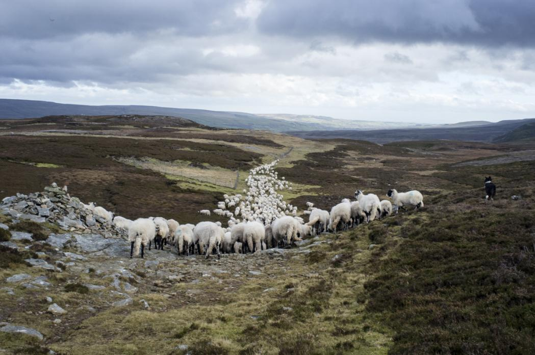 THE GATHER: One of the projects by Northern Heartlands was to look at hill farming in upper Teesdale
