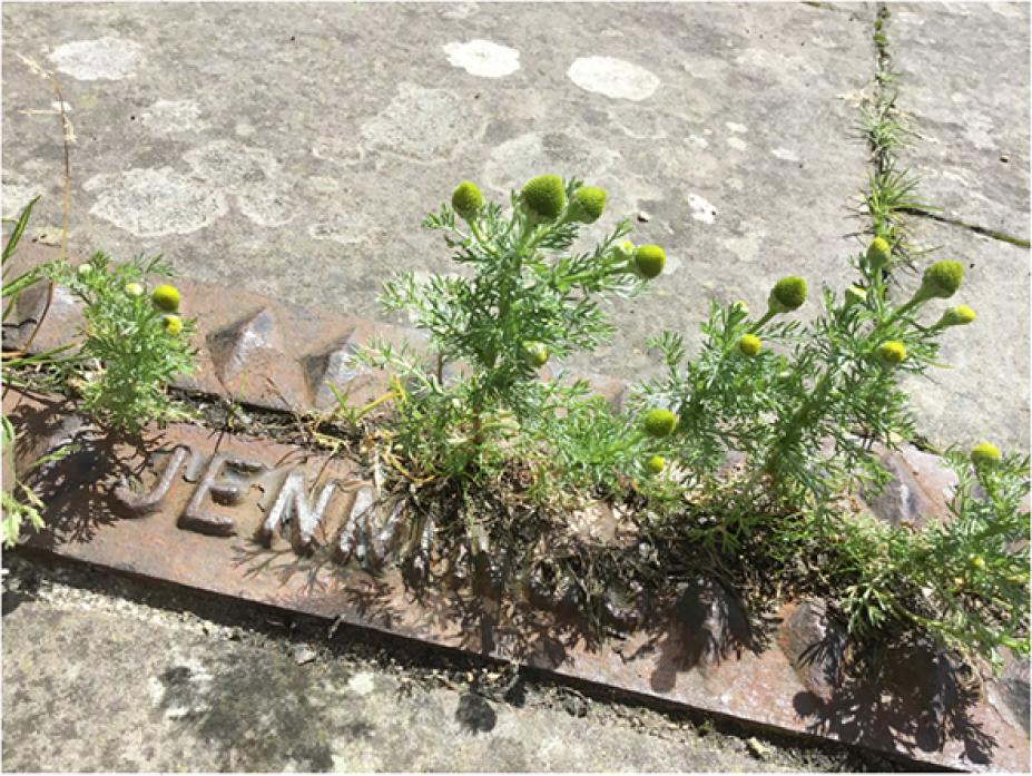 COMMON SIGHT: Pineapple weed was introduced from North America and has spread widely