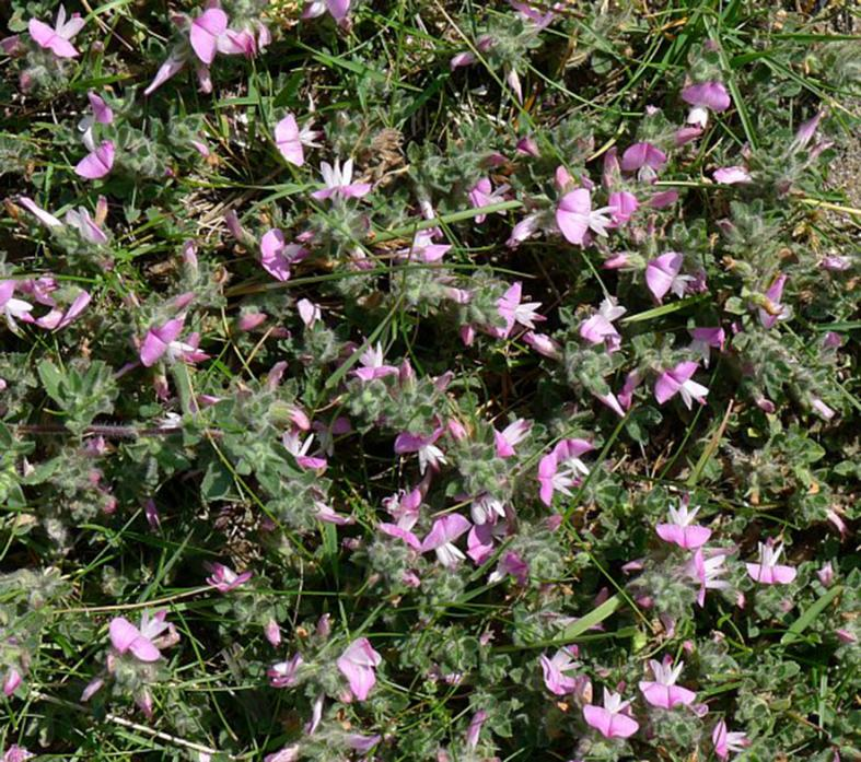 TOUGH CUSTOMER: Restharrow can be found near the Green Bridge, in Barney