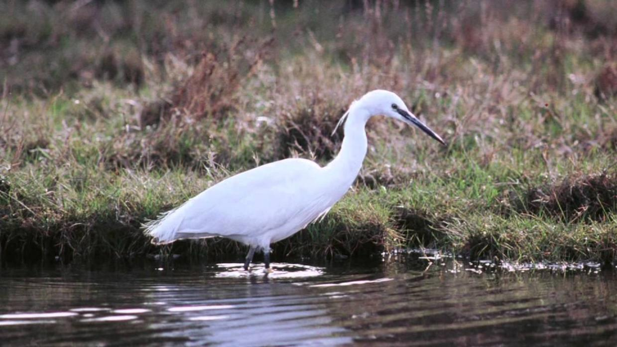 ESTABLISHED: The little egret arrived in the UK having made its way across the channel