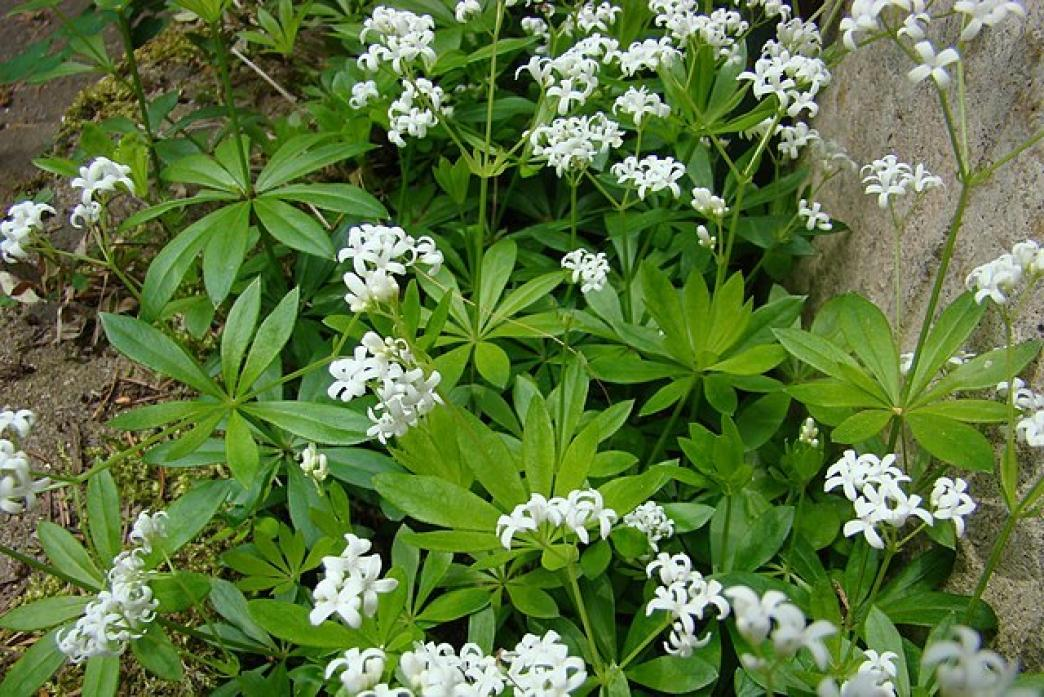 WILD WARNING: Like mint, sweet woodruff needs to be kept under control or it will invade and spread