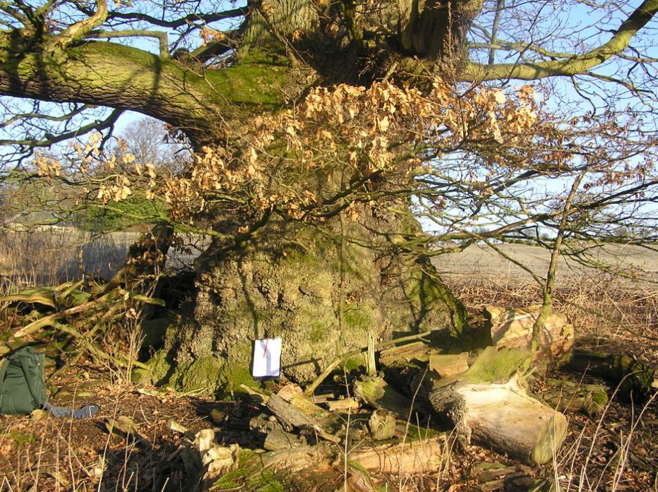 LIVING LINK: The veteran oak at Winston which features a girth of 6.7metres. Its seeds have been propagated and planted in the dale
