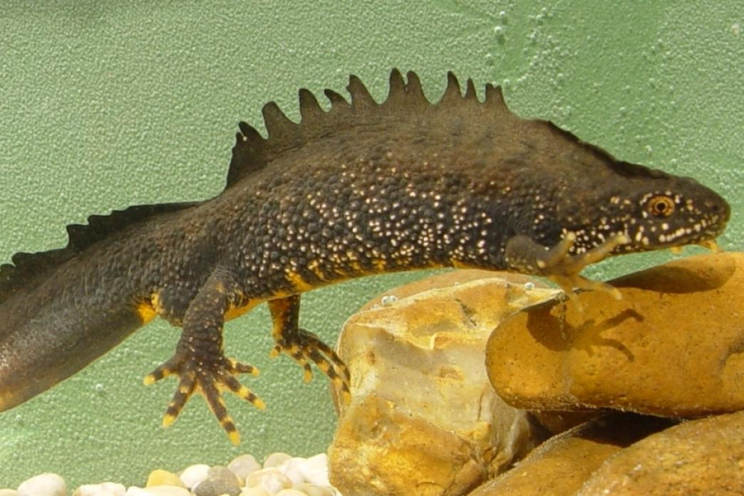 UNDER THREAT: The great crested newt