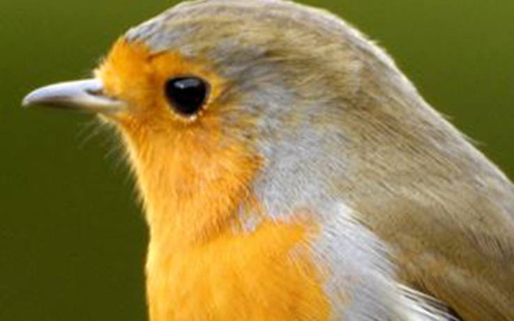 Nature Notes: In praise of the robin – a natural choice as our national bird