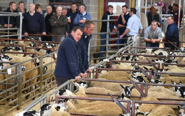 Early sales breed confidence for Mule sheep farmers