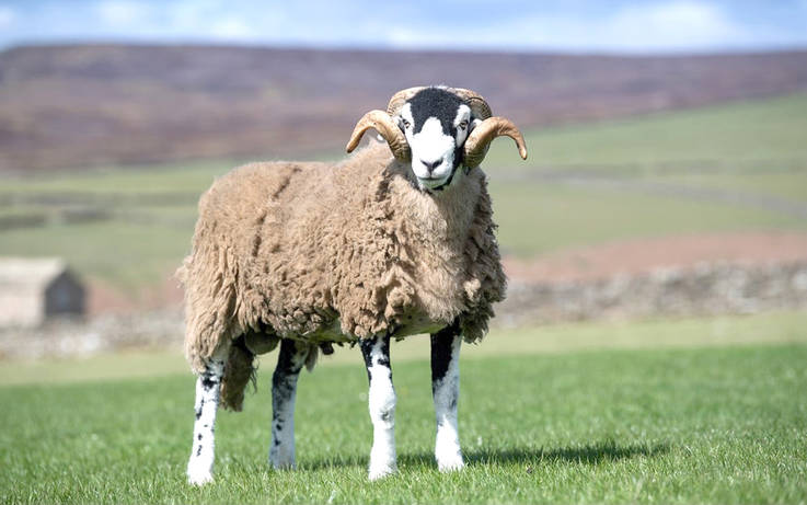 Ewe takes top spot in historic show