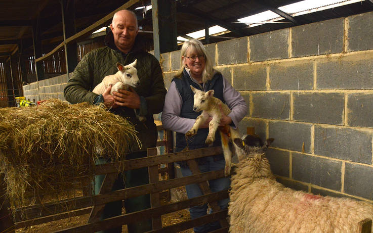 Lambing drama at dale farm plays out for TV cameras