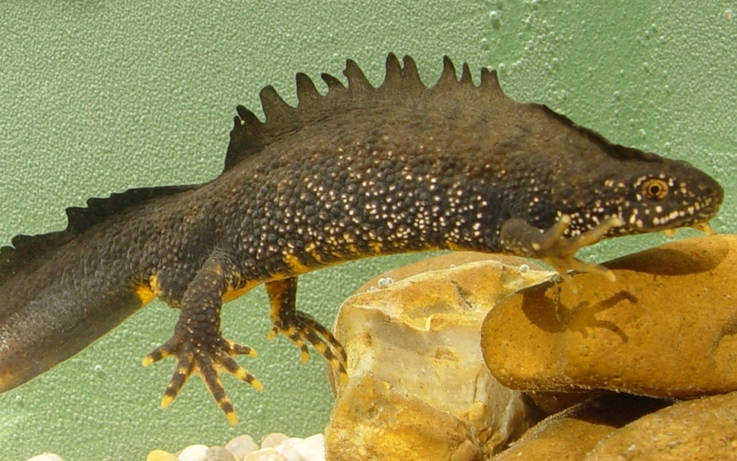 Creation of ponds 'will safeguard endangered great crested newts'